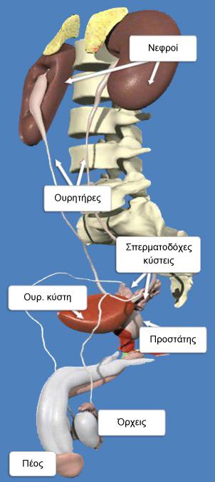 Ουροποιογεννητικό σύστημα